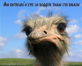 animal-facts-ostriches-fact-003